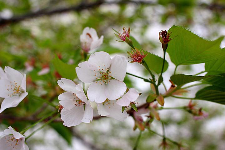 散り行く桜.jpg