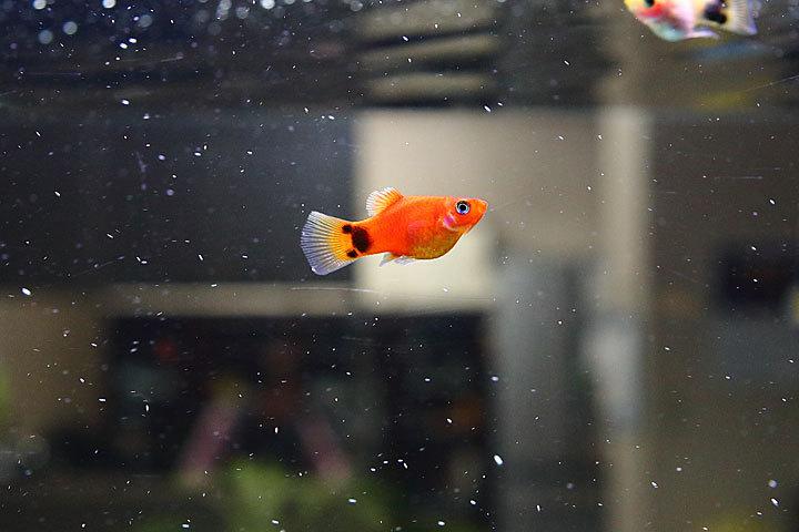 熱帯魚2017-3.jpg